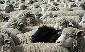 Black Sheep Outlier